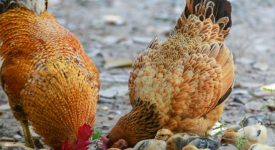 HEAL foods - keeping poultry